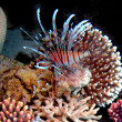 Red lionfish (Pterois russelli), Red Sea, Egypt. — Foto Stock