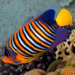 Regal angelfish (pygoplites diacanthus) - Stock Photo