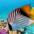 Threadfin butterflyfish (Chaetodon auriga) — Stock Photo #5646544