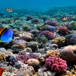 Photo of a coral colony on a reef, Red Sea, Egypt — Stock Photo #5646602