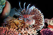Red lionfish (Pterois russelli), Red Sea, Egypt. — Stockfoto