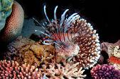 Mar rojo pez león (pterois russelli), rojo, egipto. — Foto de Stock