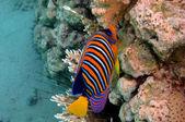Regal angelfish (pygoplites diacanthus) — Stock Photo