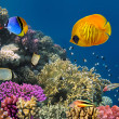 Underwater world. Coral fishes of Red sea. Egypt — Stock Photo