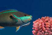 Parrotfish — Stock Photo