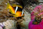 紅海カクレクマノミ クマノミ (bicinctus) — ストック写真