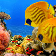 Masked butterfly fish (Chaetodon semilarvatus) and coral reef — Stock Photo