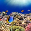 Stock Photo: Underwater world. Coral fishes of Red sea. Egypt