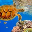 Green Sea Turtle swiming over Coral Reef — Stock Photo