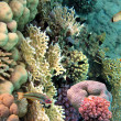 Photo of a coral colony, Red Sea, Egypt — Stock Photo #5942945