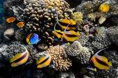 Vita sottomarina di una duro-barriera corallina — Foto Stock