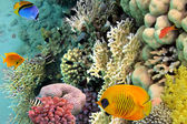 Photo of a coral colony, Red Sea, Egypt — Stock Photo