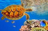 Green Sea Turtle swiming over Coral Reef — Stock Photo