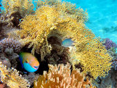 Red Sea Steepheaded Parrotfish — Zdjęcie stockowe