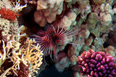 Red lionfish (Pterois russelli) — Stock Photo