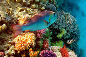 Coral Reef in Red Sea, Egypt — Stock Photo