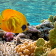 Masked Butterfly Fish — Stock Photo #6023162