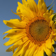 Yellow sunflower, bee and blue sky — Stock Photo