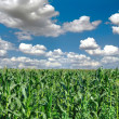 Agricultural landscape of corn field — Stock Photo