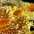 Stock Photo: Sulphur Damsel above corals