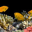 Sulphur Damsel above corals — Stock Photo