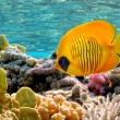 Masked Butterfly Fish — Stock Photo #6098349