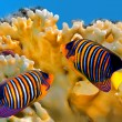 Regal angelfish (pygoplites diacanthus) — Stock Photo