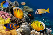 Polyp Butterflyfish, Red Sea, Egypt — Stock Photo