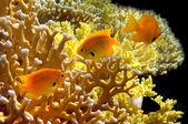 Sulphur Damsel above corals — Stock Photo