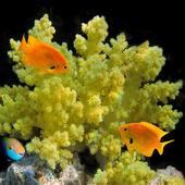 Sulphur damsel (pomacentrus sulfereus) — Stock Photo