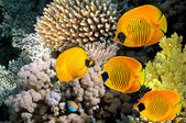 Masked butterfly fish (Chaetodon semilarvatus) — Stock Photo