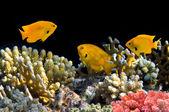 Sulphur Damsel above corals — Foto Stock