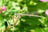 Dragonfly buiten (coleopteres splendens) — Stockfoto