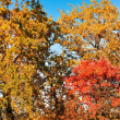 Autumn landscape. Bright colored maple leaves on the branches in — Foto de Stock