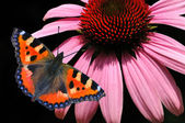 Butterfly and Echinacea purpurea — Stock Photo