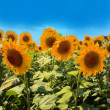 Nice Sunflowers field — Stock Photo