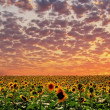 Sunset and sunflower - Stock Photo