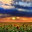 Sunset and sunflower — Foto de Stock