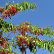Branch of a mountain ash with red berries against the blue sky - Stock Photo