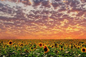 Sunset and sunflower — Stock Photo