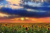 Sunset and sunflower — Stock Photo