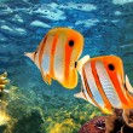 Copperband butterflyfish (Chelmon rostratus) — Stock Photo