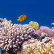 Underwater panorama with Masked Butterfly Fish. Red Sea, Egypt — Stockfoto