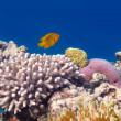onderwater panorama met gemaskerde vlinder vis. Rode Zee, Egypte — Stockfoto