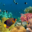 Underwater panorama with Angel fish, coral reef and fishes. Red — Stock Photo