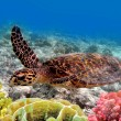 Green sea turtle swimming in ocean sea — Stock Photo #6522672