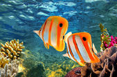 Copperband butterflyfish (Chelmon rostratus) — Stock Photo