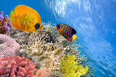 Masked butterfly fish (Chaetodon semilarvatus) and regal angelf — Stock Photo