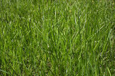 Close-up of green grass — Stock Photo