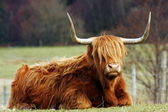 Scottish Highland Cow. — Stock Photo